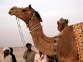 Верблюжий фестиваль — самое экзотичное и веселое событие